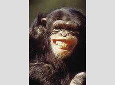 Schimpansen Zähne zeigen nur zum Spaß [GEOLINO]