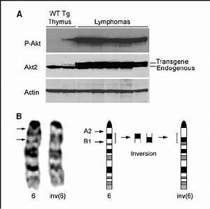 Akt activity and chromosome 6 inversion in Lck-Myr-Akt2 ...