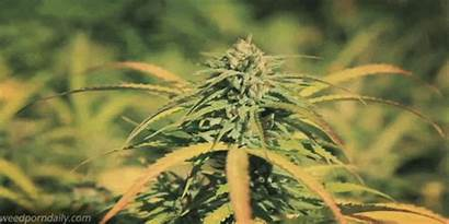 Weed Marijuana Gifs Flower Cannabis Plant Maconha