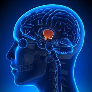 Hypothalamus  Zirbeldr U00fcse  Und Alterungsprozesse  U2013 Gehirn