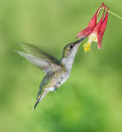 female ruby throated hummingbird feeding on columbine