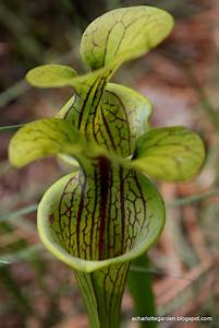 A Charlotte Garden  Pitcher Plant  Au Naturel