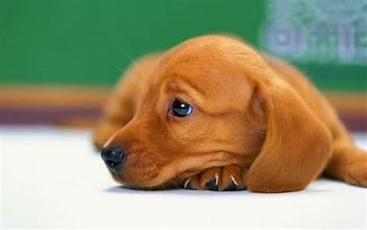 Dog Puppy Sausage Puppies Google Dachshund Wallpapers