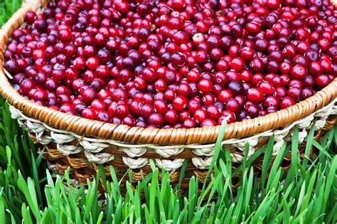 Lielogu dzērveņu audzēšana dārzā
