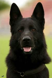 Black German shepherd | Cuteness and Fur | Pinterest