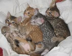 cat breeder ocicat kittens animals