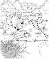 Prairie Coloring Dog Pages Grassland Dogs Drawing Animals Sheet Wildlife Activities Nature Getdrawings Popular sketch template