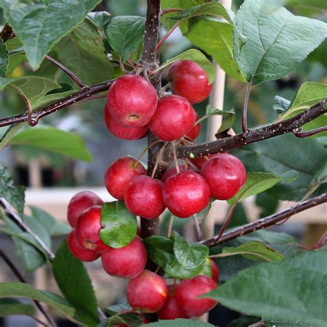 crab apples trees malus gorgeous crab apple tree mail order trees