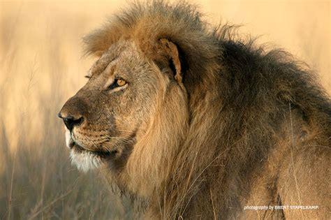 living  carnivores african wildlife foundation