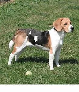 Full Grown Beagle