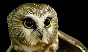 A Small Owl Spurs Big Questions   Conservation Federation ...