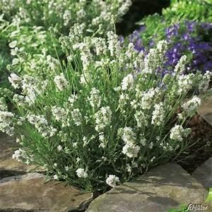 Lavendel Schneiden Im Herbst : lavendel aromatica silver von garten schl ter auf blumen ~ Lizthompson.info Haus und Dekorationen