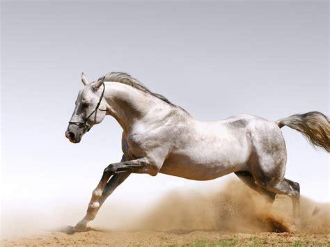 white horse racing galloping wallpaper hd