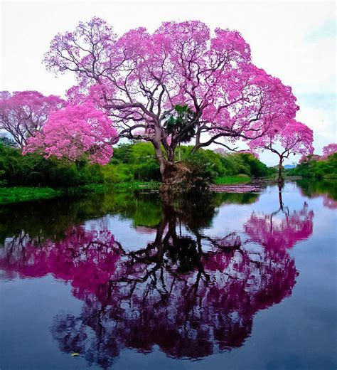 pink trumpet tree care spring cannot come soon enough ayles tree service