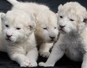 Discoveries and Perceptions: Newborn lions in Argentina