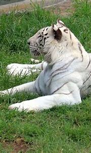 White Tigers   Life in Captivity