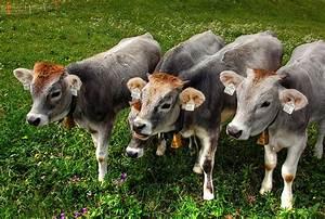 Calves Alm Cow  U00b7 Free Photo On Pixabay