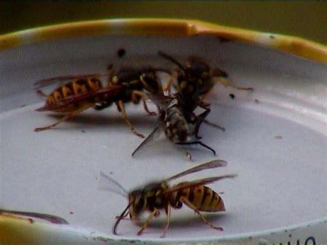 wie alt werden wespen nest am fenster