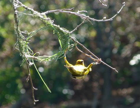 Great British Bioscience — How do birds build their nests? Scientists have...