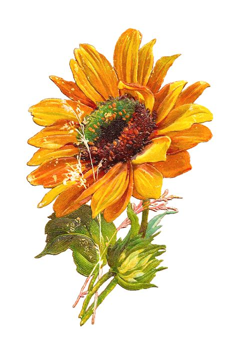 Free Vintage Clip Sunflower Clipart Vintage Pencil And In Color Sunflower