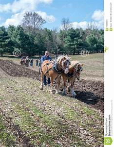 Working With Plow Horses At An Event Editorial Stock Image