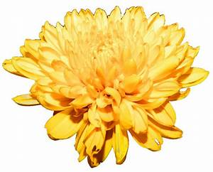 Yellow Chrysanthemum by jeanicebartzen27 on DeviantArt