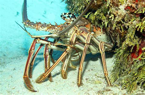 Lobster Boat Limit Florida by Lobster Charters Boat Islamorada