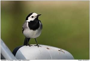 Heimische Singvögel Bilder : alle singv gel foto naturfotografie digital fotos alle singv gel bild bilder ~ Whattoseeinmadrid.com Haus und Dekorationen