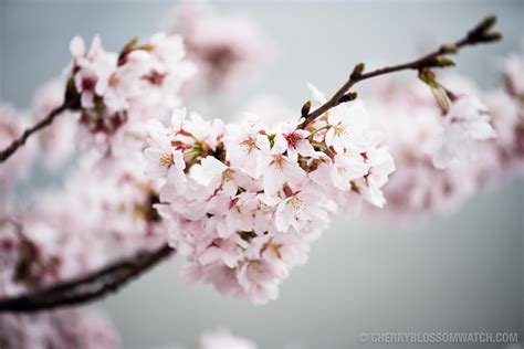 Cherry Blossom Image by Free Photo Cherry Blossom Leaves Japanese Garden