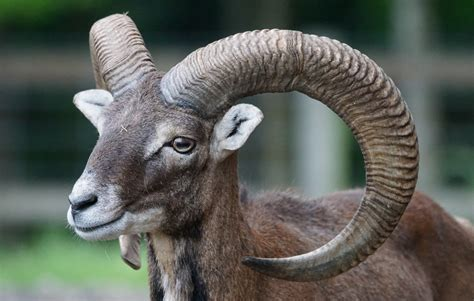 Free Images Male Wildlife Horn Mammal Fauna Goats