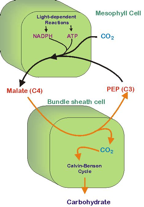 Why Does Darkness Affect The Light Independent Reactions Of Photosynthesis by Brief Review Of C4 Photosynthesis