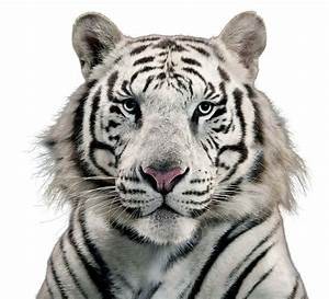White Tiger Png