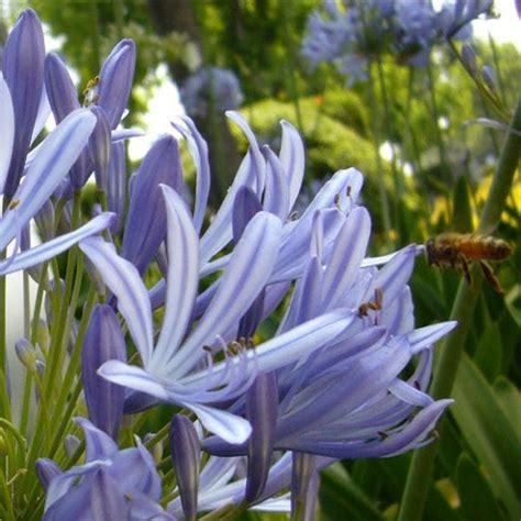 other plants seeds bulbs 5pcs 5pcs purple clivia seed agapanthus africanus seeds alex nld