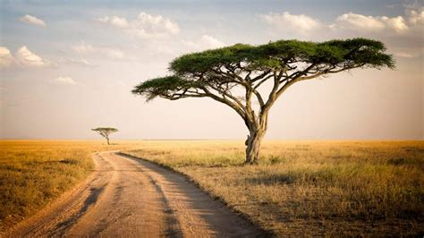 Serengeti Park Tanzania Savannah Two Lonely Trees Dry