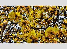 El guayacán, el árbol que despierta a la vida – Ministerio
