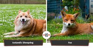 Dogs That Look Like Foxes | 12 Foxy Dog Breeds