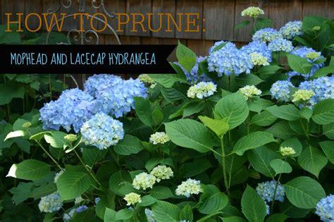 pruning lacecap hydrangea how to prune hydrangeas video tutorial north coast gardening