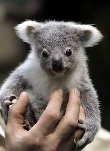 koalas bebes Gallery