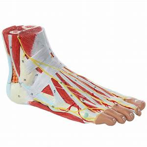 Axis Scientific Anatomy Model Of Foot With Muscles