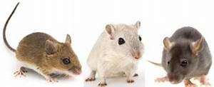 Comment Tuer Une Souris : chasser rats et souris tout pratique ~ Maxctalentgroup.com Avis de Voitures