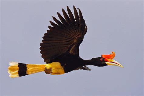 Beautiful Images Of Rhinocreos Hornbill