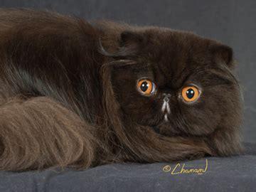 gatti persiani foto gattipersiani it gatti persiani