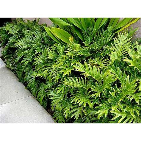 Philodendron Arten Bilder by 200mm Zanada Philodendron Xanadu Bunnings Warehouse