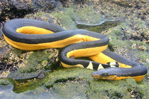 snake skin shedding frequency is but snakes are pelagic sea snakes and