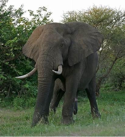 Elephant African Bush Elephants Male Loxodonta Africana