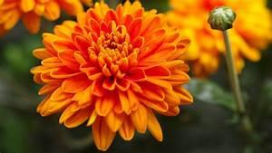 Garten Im September : chrysanthemen pflege tipps zum beliebten vielbl her ~ Whattoseeinmadrid.com Haus und Dekorationen