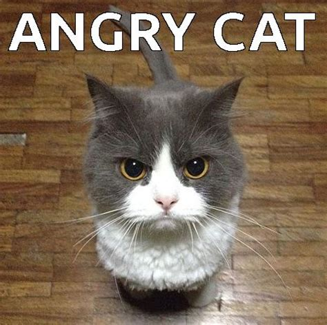 Annoyed Cat Meme - best angry cat meme 28 images image gallery mad kitty meme top 20 funniest angry cat memes