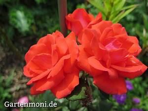 Rosen Düngen Im Frühjahr : fr hjahr rosen schneiden d ngen und pflegen garten rosen rosen d ngen und blattl use ~ Orissabook.com Haus und Dekorationen