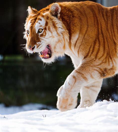 Strawberry Tiger Tigers Golden Animals