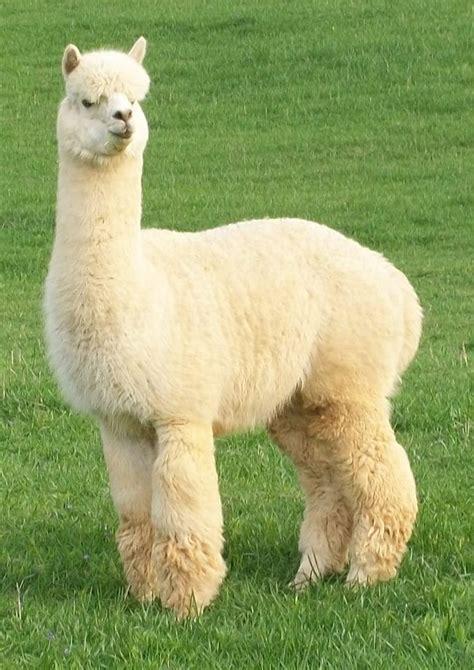 New Alpaca Cria, Becket, Born June 23